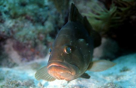 Grouper Image, Craig Quirolo